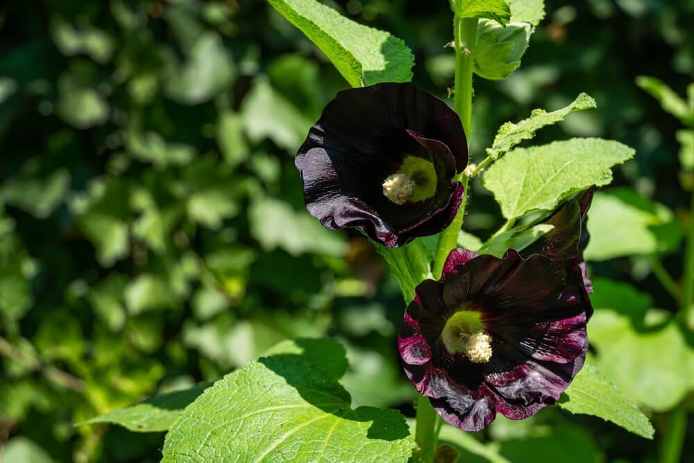Black malva flowers